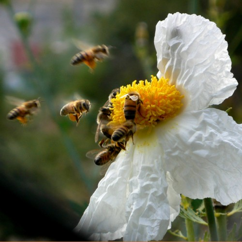 busy bees sucking the nectar from a matilija poppy